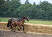Hest til salg - COPYRIGHT