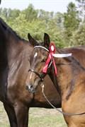 Hest til salg - SHAKA LOVELESS