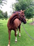 Hest til salg - ATTERUPGAARDS DAHLIA