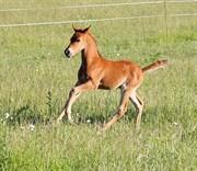 Hest til salg - JUPITER OVERSKOVLUND