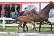 Hest til salg - FARMAND'S CAVALLERO