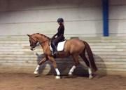 Hest til salg - VANILLA WEINBRAND