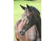 Hest til salg - ZAKIRA