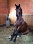 Hest til salg - DIACANDI