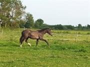 Hest til salg - STEMAR'S ABOY