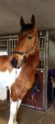 Hest til salg - HØJVANG'S IKAROS