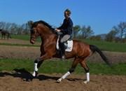 Hest til salg - AURINA- STENLYKKE