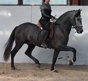 Hest til salg - Paquiro Xl