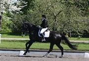 Hest til salg - ORIAN HELFIN