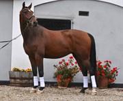 Hest til salg - ZIG ZAG ZUGAR
