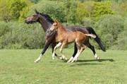 Hest til salg - Elitehoppe Carrera