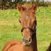 Hest til salg - FRUERINGS SACRÉ COEUR