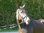 Hest til salg - ZIRONA