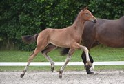 Hest til salg - 401 - KAMAR'S EXPRESS NOIR HIT
