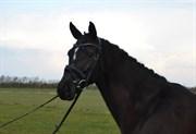 Hest til salg - LATIFA