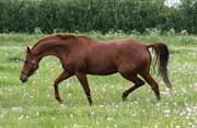 Hest til salg - KÆRVANGS BATIK