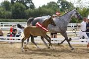 Hest til salg - OVERTURE KH.