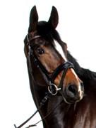Hest til salg - WILDROSE