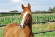 Hest til salg - GREDSTEDGAARDS PRINCESS BELLA