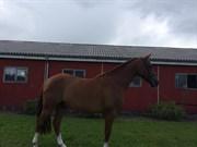 Hest til salg - SHAWN LUCAS