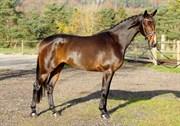 Hest til salg - BLUEBELL