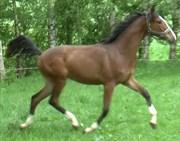 Hest til salg - GODTHAABS CAMELIA