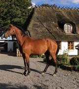 Hest til salg - CLAYTON