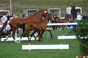 Hest til salg - Elite St. pr Lilly