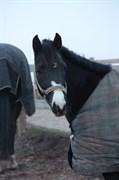 Hest til salg - CHARMING LADY
