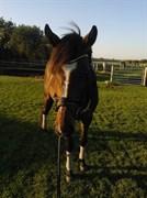 Hest til salg - Hoppe 7 år