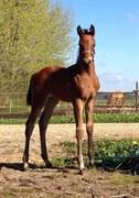 Hest til salg - Holkjærs Rustique