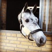 Hest til salg - THORNDAL'S NIÑA