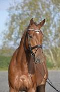 Hest til salg - SILAS