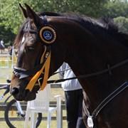 Hest til salg - PONDUS