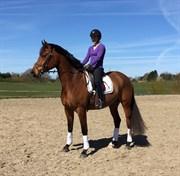 Hest til salg - Aurom Maxima