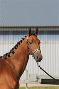 Hest til salg - ASBO'S BLONDIE