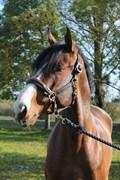 Hest til salg - GRAVERSGAARDS CHAMP. SUPREME