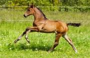Hest til salg - LIPAS ALAYA