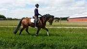 Hest til salg - SISCO H.