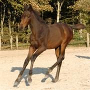 Hest til salg - PIPI V