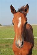 Hest til salg - LA COSTA AX
