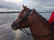 Hest til salg - Tut