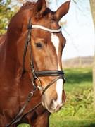 Hest til salg - ALB Y'S RED SOX