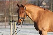 Hest til salg - VLADIA