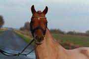 Hest til salg - FJORDGLIMT CARYLIN (OS)