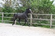 Hest til salg - QASH'MIR