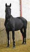 Hest til salg - SCHOUWSGAARDENS DARK BEAUTY
