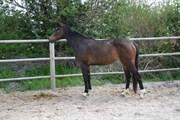 Hest til salg - QUIBELL