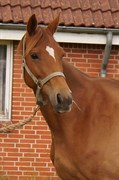 Hest til salg - SOLHEIM'S HEART OF GOLD