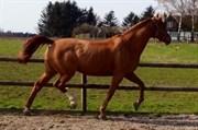 Hest til salg - BAILEY BLUE XX (DEN)